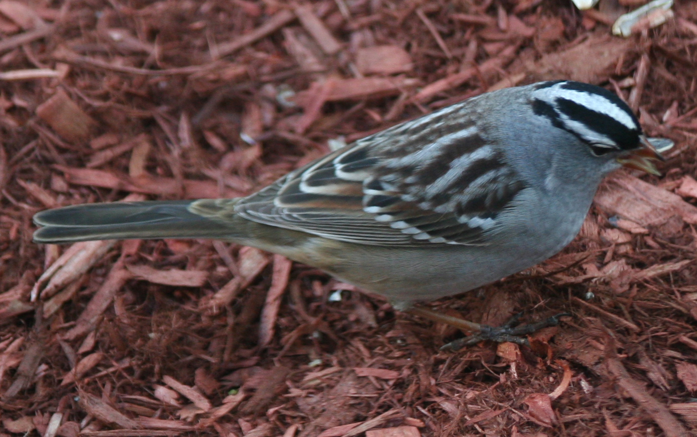 White-crowned Sparrow - Zonotrichia leucophrys ...