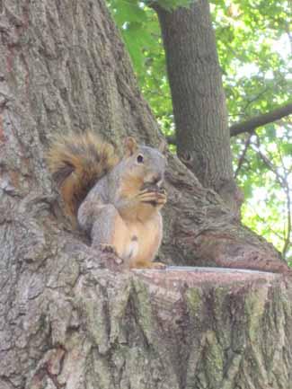 Fox Squirrel – Sciurus niger