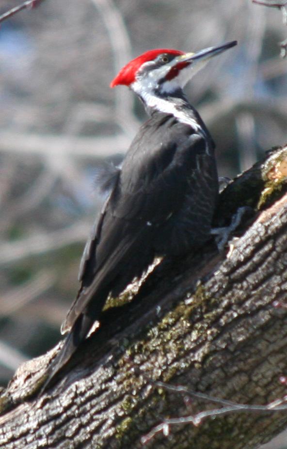 Pileated Woodpecker – Dryocopus Pileatus