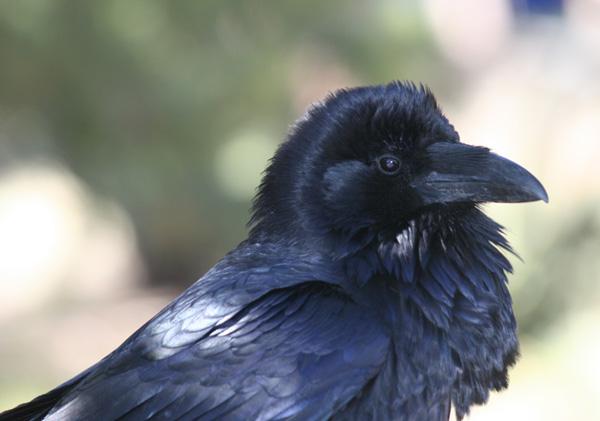 Common Raven – Corvus corax