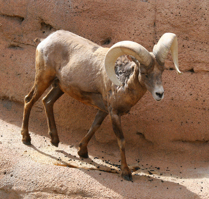 Bighorn Sheep – Ovis Canadensis