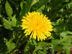 Each bloom is made up of numerous strapshaped florets of a bright golden yellow.