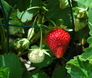 Strawberry - Strawberries are in full fruit production in their second year.